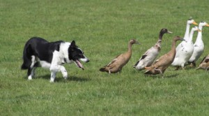 Dedicated sheep-dog turning his attention to Indian Runners